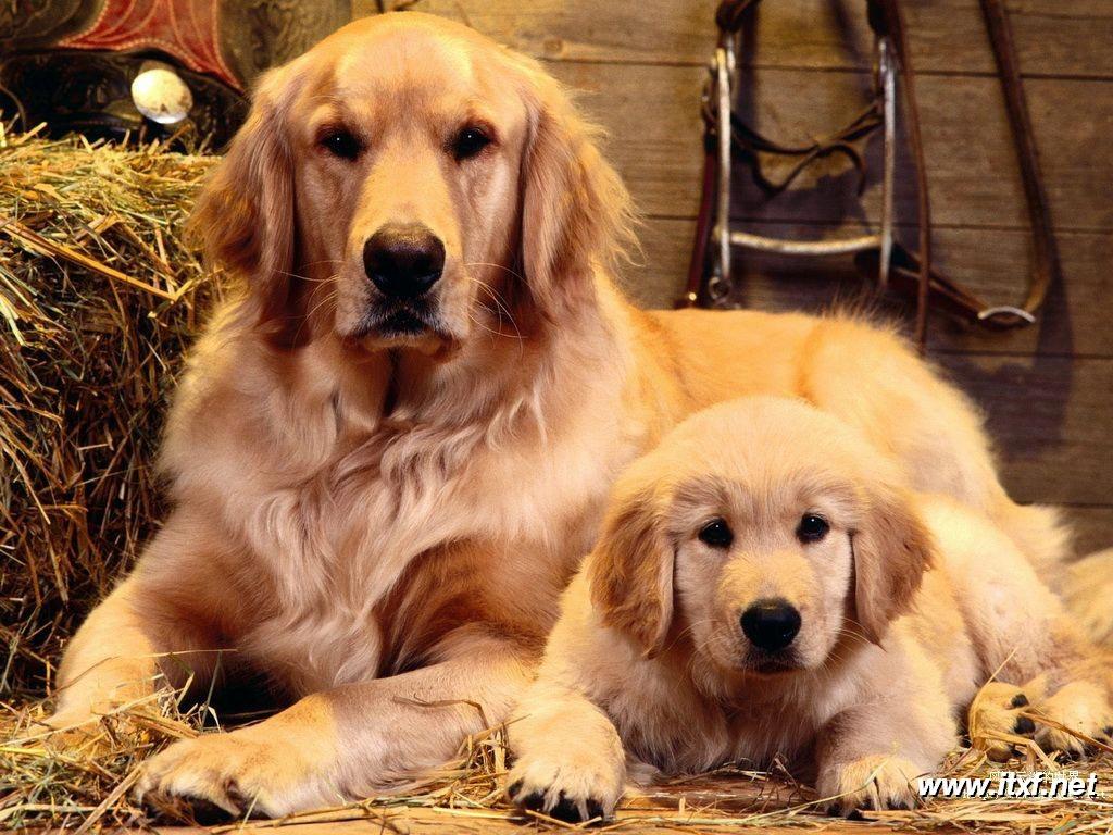 黃金獵犬好養嗎
