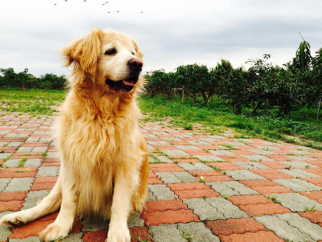 黃金獵犬領養、認養