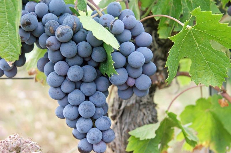 葡萄以及葡萄乾-水果籽核
